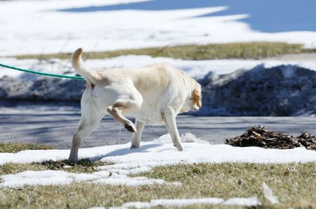 Dog Urinating in Snow