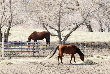 Two Brown Horses Eating Hay photo