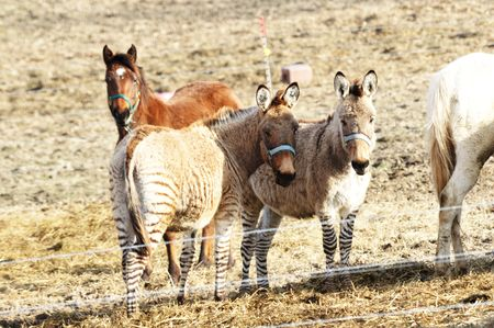 Zebra Crossed with Horse is a Zorse