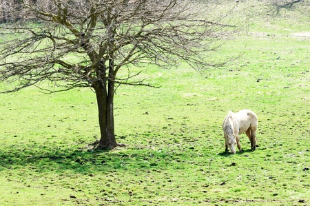 Lone Horse Grazing by Tree photo