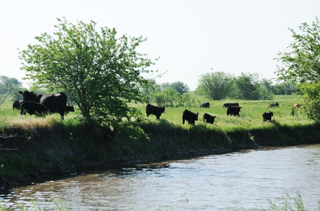 Cattle by the Creek photo