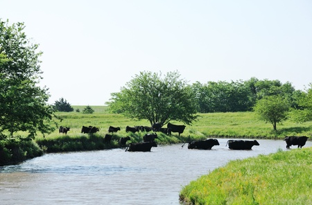 black angus cattle: Cattle Crossing the Creek