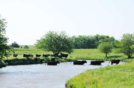 Cattle Crossing the Creek photo