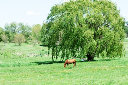 willow: Horse Grazing by Weeping Willow Tree Stock Photo
