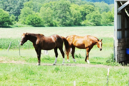 Two Brown Horses photo
