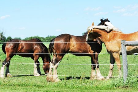 clydesdale: Biting Horse Stock Photo