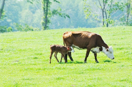 calves: Hereford Cow and Calf