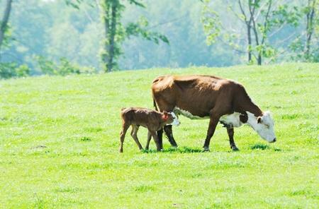 k�lber: Hereford Kuh und Kalb