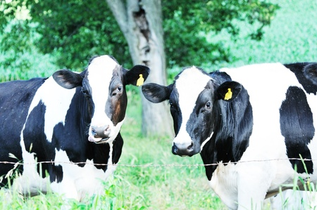 cattle wire wire: Two Holstein Cows
