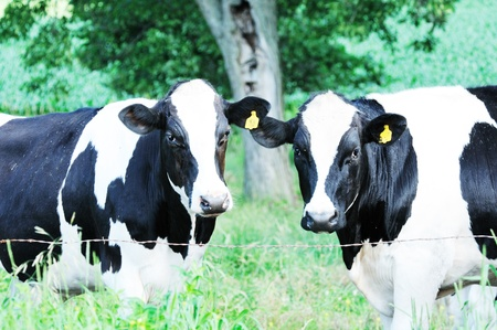 Two Holsteins Stock Photo - 9412779