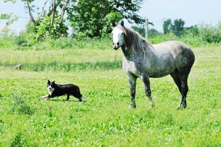 dapple grey: Dog by Percheron