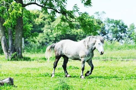 dapple grey: Percheron Walking