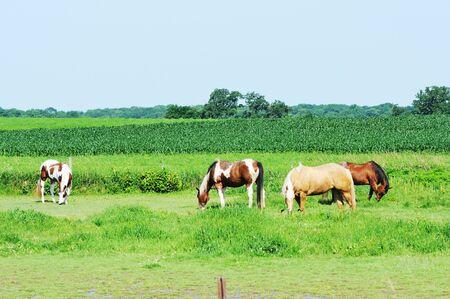 Horses by Cornfield Stock Photo - 9456217