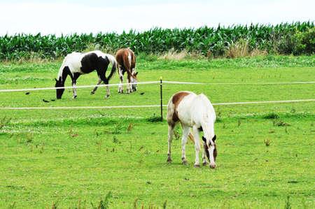 Three Horses Grazing Stock Photo - 9489238