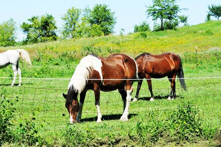Pinto Grazing with Friends photo