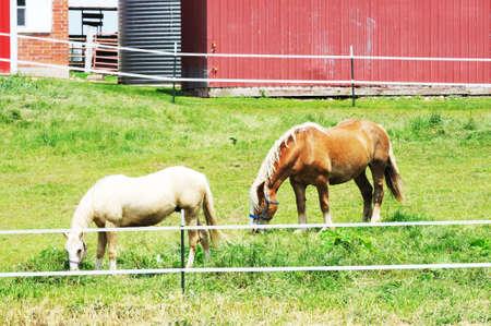 Two Horses Grazing photo