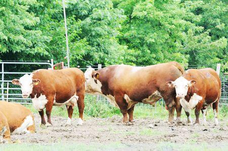 hereford: Hereford Cattle