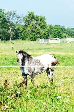 dappled: Gray Horse Standing