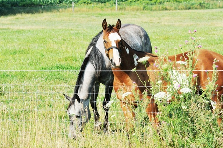 Horses at Fence photo