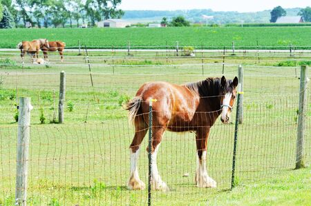 clydesdale: Horses in Pasture