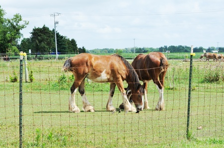 clydesdale: Two Horses Grazing