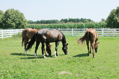 Three Grazing Horses Stock Photo - 10202228