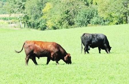 black angus cattle: Bull and Cow