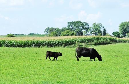 Mucca e vitello Archivio Fotografico - 10383130