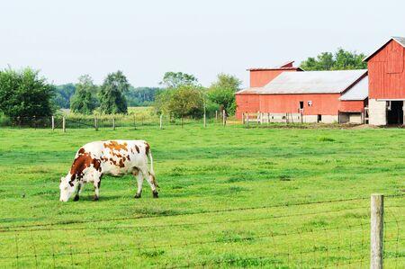 Cow Grazing photo