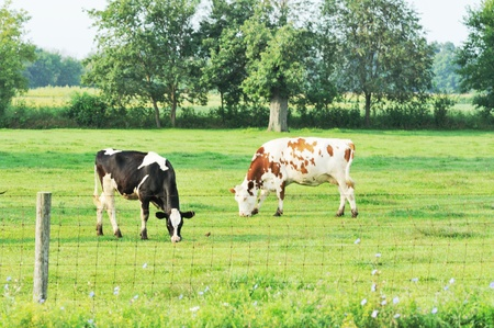 Dairy Cattle Grazing photo