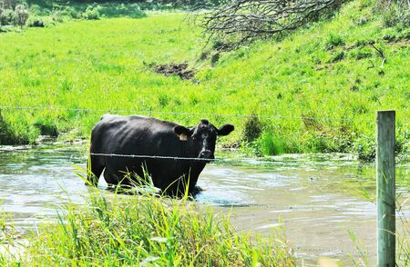 cattle wire: Cow in Stream