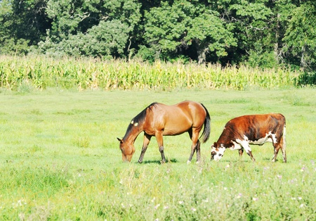 Horse and Cow photo