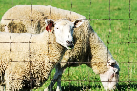 Sheep by Fence Stock Photo - 10537657