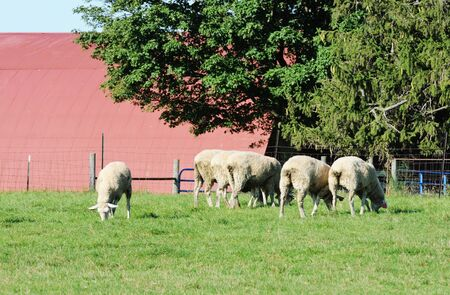 Sheep by Red Barn photo