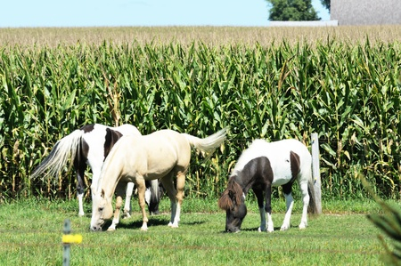 Horses by Cornfield photo