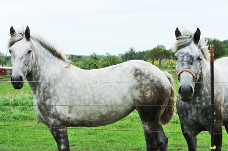 Two Gray Horses photo