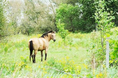 buckskin horse: Buckskin Horse Stock Photo