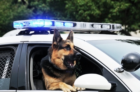 flashing: Police Dog Stock Photo