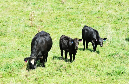 Black Cows photo