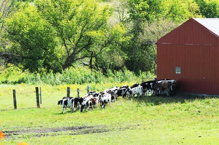 Cows by Barn