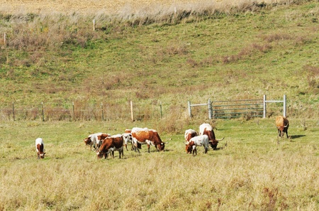 Cattle Grazing photo