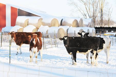 cattle wire: Cows in Snow