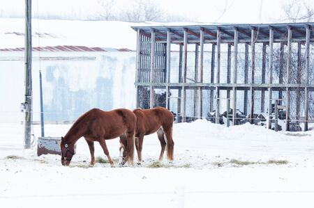 Horses in Snow photo