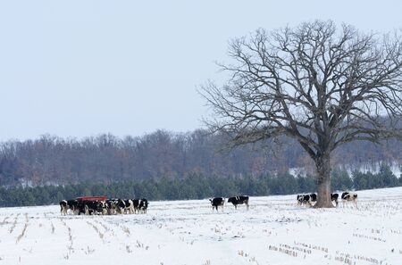 Cows in Snow photo