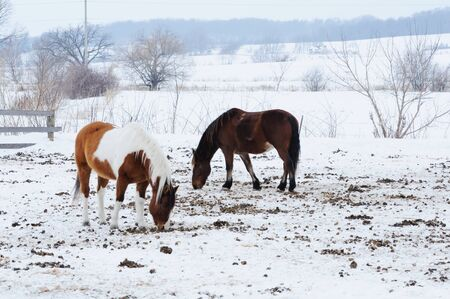 Two Horses in Snow photo