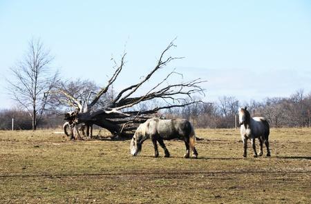 dapple horse: Two Gray Horses