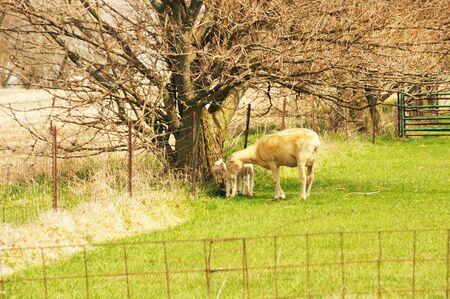 ewe: Ewe and Lambs Stock Photo