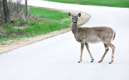 white tail deer: Deer Crossing Road Stock Photo