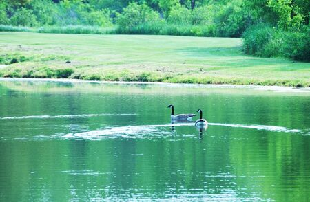 Swimmng Geese photo