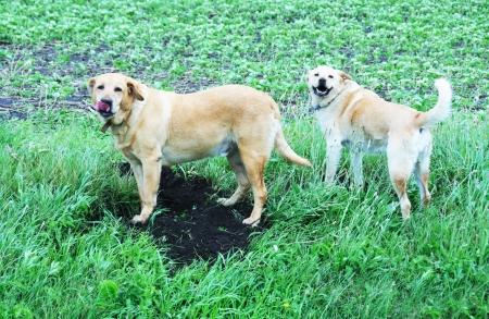 labrador teeth: Farm Dogs